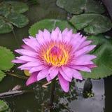 Розовый цветок лотоса плавая в пруд Стоковая Фотография