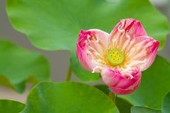 Розовый цветок лотоса Стоковая Фотография RF