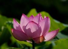 Розовый цветок лотоса Стоковая Фотография