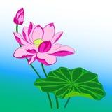 Розовый цветок лотоса Стоковые Изображения RF