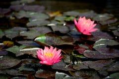 Розовый цветок лотоса Стоковое Изображение