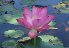 Розовый цветок лотоса Стоковое Фото