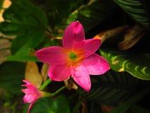 Розовый цветок одно Стоковое фото RF