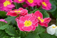 Розовый цветок первоцвета, сорт растения primula Стоковое Изображение