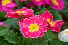 Розовый цветок первоцвета, сорт растения primula Стоковые Фотографии RF