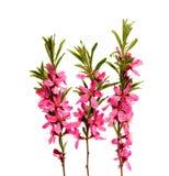 Розовый цветок персика на белизне Стоковые Изображения