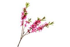 Розовый цветок персика на белизне Стоковые Изображения RF
