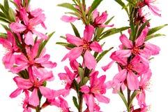 Розовый цветок персика на белизне Стоковое Изображение RF