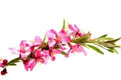 Розовый цветок персика на белизне Стоковые Фотографии RF