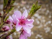 Розовый цветок персика Стоковые Изображения