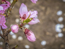 Розовый цветок персика Стоковое фото RF