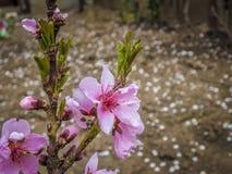 Розовый цветок персика Стоковые Фотографии RF