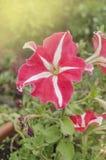 Розовый цветок петуньи звезды в саде Стоковое Изображение RF