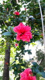 Розовый цветок пинка uttrakhand цветка Стоковые Изображения