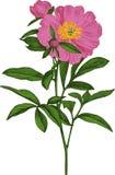 Розовый цветок пиона. Вектор Стоковое Изображение RF