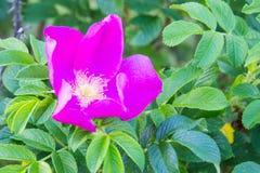 Розовый цветок плода шиповника на ветви с зелеными листьями Сад дальше Стоковая Фотография