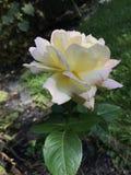 Розовый цветок под именем мира стоковая фотография