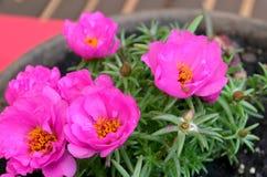 Розовый цветок портулака, суккулентный Стоковое Изображение RF