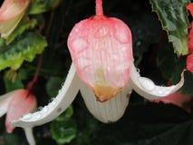 Розовый цветок предусматриванный в дождевых каплях Стоковое Фото