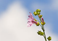 Розовый цветок против голубого неба Стоковые Изображения RF