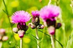 Розовый цветок птицы-носорог с малым насекомым на одном из их Заводы льда или засорители ковра Стоковая Фотография