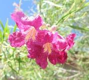 Розовый цветок пустыни Стоковые Изображения RF