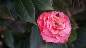 Розовый цветок пчелы Стоковое Изображение