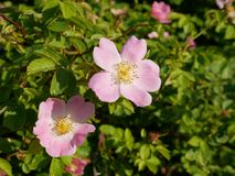 Розовый цветок Розовая одичалая розовая или собак-Роза цветут с листьями стоковое фото