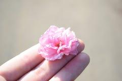 Розовый цветок Сакуры в руке Стоковые Изображения RF