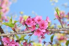 Розовый цветок Сакуры в Ang Khang Стоковые Изображения RF