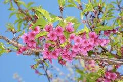 Розовый цветок Сакуры в Ang Khang Стоковые Фотографии RF