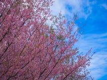 Розовый цветок Сакуры и голубое небо, одичалая гималайская вишня Стоковые Изображения RF