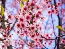 Розовый цветок Сакуры и голубое небо, одичалая гималайская вишня Стоковое фото RF
