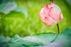 Розовый цветок священного лотоса (nucifera Nelumbo) с зеленым цветом выходит в предпосылку природы Nucifera Nelumbo, также извест Стоковые Фото