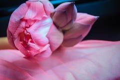 Розовый цветок священного лотоса (nucifera Nelumbo) с зеленым цветом выходит в предпосылку природы Nucifera Nelumbo, также извест Стоковое Фото