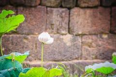 Розовый цветок священного лотоса (nucifera Nelumbo) с зеленым цветом выходит в предпосылку природы Nucifera Nelumbo, также извест Стоковое фото RF