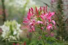 Розовый цветок спайдера Стоковые Фото