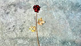 Розовый цветок, сушит вне Стоковые Изображения