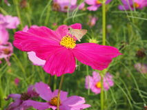 Розовый цветок с бабочкой Стоковое Фото