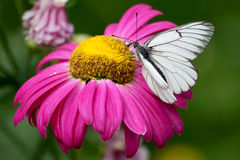 Розовый цветок с белой бабочкой Стоковая Фотография