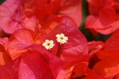 Розовый цветок с белые цветения Стоковые Изображения RF