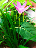 Розовый цветок с длинными стержнями Стоковые Фотографии RF