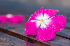 Розовый цветок с падением воды в pistil в дожде стоковые изображения rf