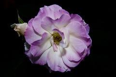 Розовый цветок с другим бутоном в черной предпосылке Стоковые Фотографии RF