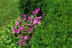Розовый цветок с цвести в flowerbed с лужайкой стоковые фотографии rf