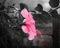 Розовый цветок с desaturated предпосылкой стоковое фото rf