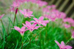 розовый цветок травы Стоковая Фотография