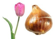Розовый цветок тюльпана Waterlily тюльпана Kaufmanniana при шарик тюльпана изолированный на белизне Стоковые Изображения