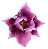 Розовый цветок тюльпана Предпосылка изолированная белизной с путем клиппирования closeup Отсутствие теней Для конструкции Стоковая Фотография RF