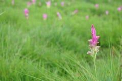 Розовый цветок тюльпана Сиама Стоковая Фотография